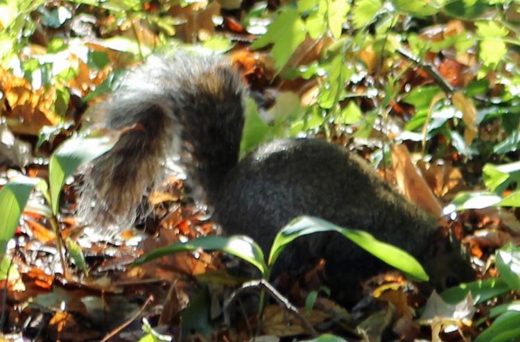 Squirrel 2 brilliant
