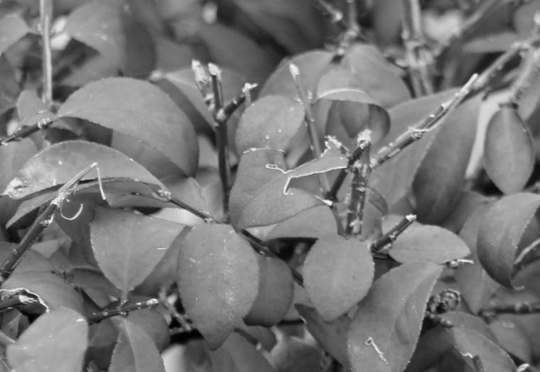 Autumn leaves bw