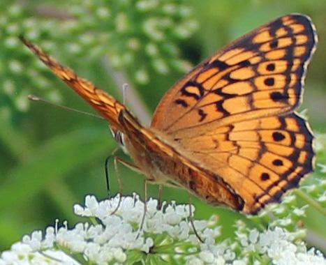 butterfly-7-1