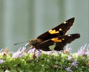 Butterfly 90