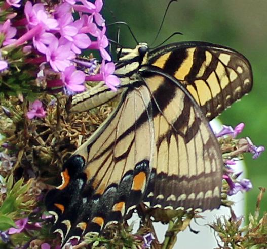 Butterfly Superstar 1.jpg
