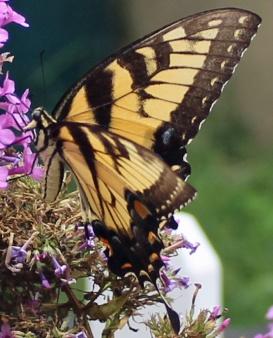 Butterfly Superstar 5