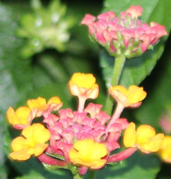 Pink Yellow 1