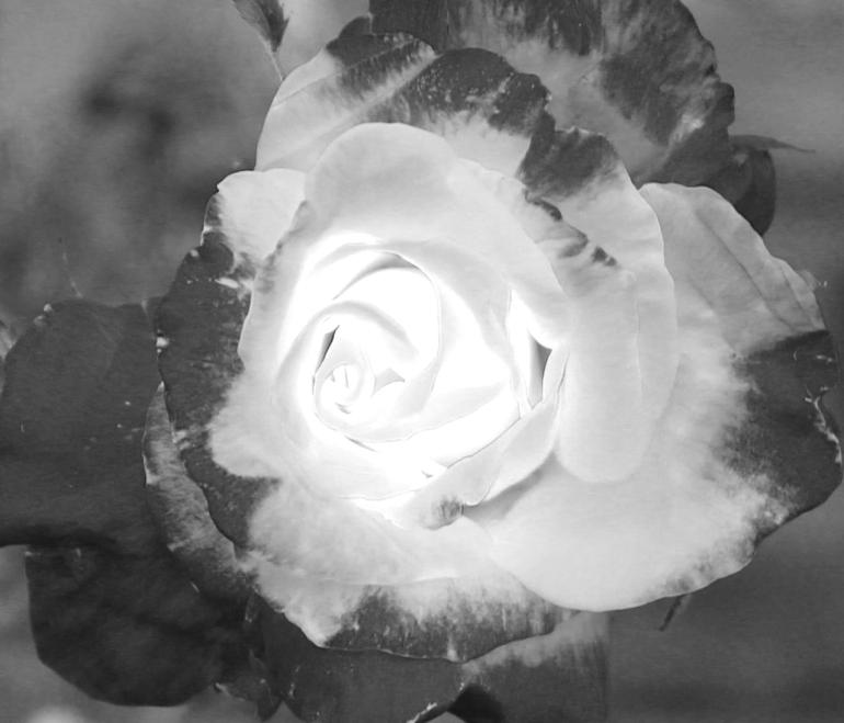 Rose 2 IR