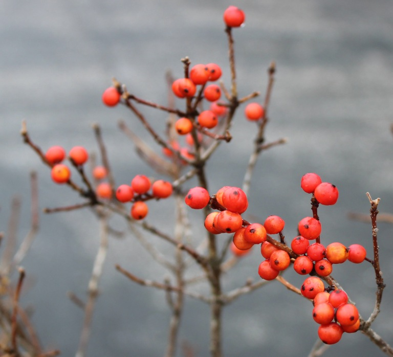 Berries 1 red