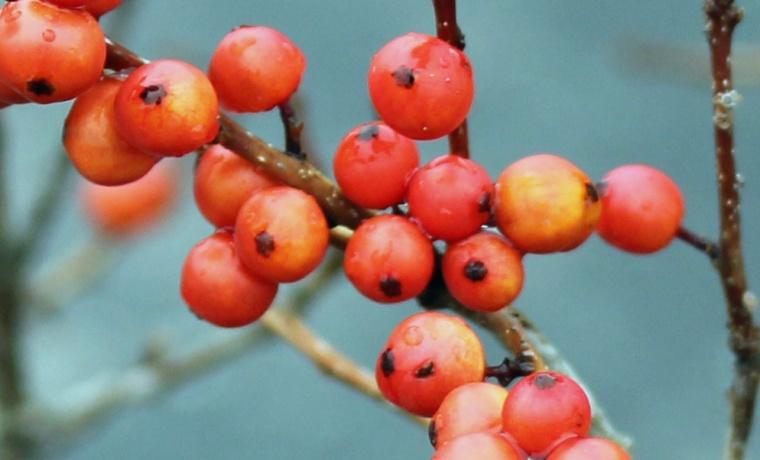 Berries 2 macro
