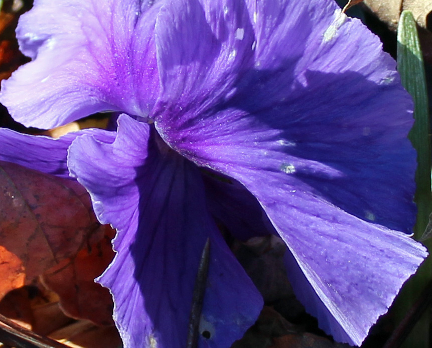 Blue 2 pansy