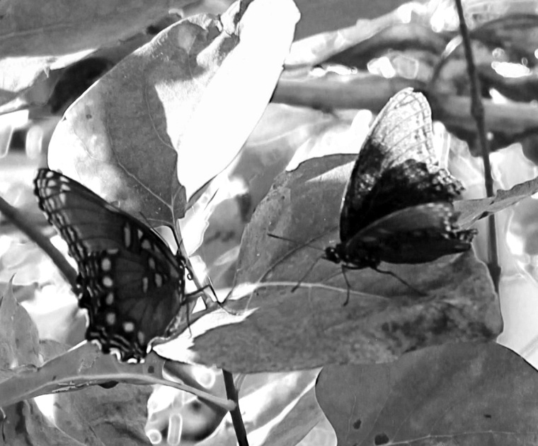 Butterflies 1 bw