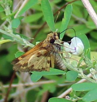 Butterfly 15 very nice