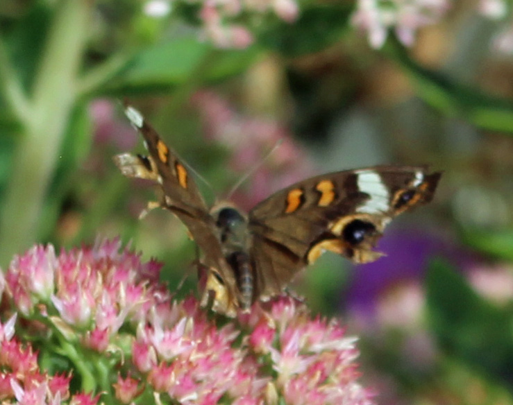 Butterfly 2 - Copy