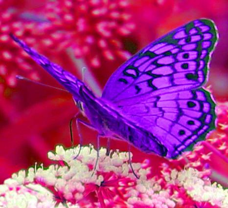 Butterfly 2 psych