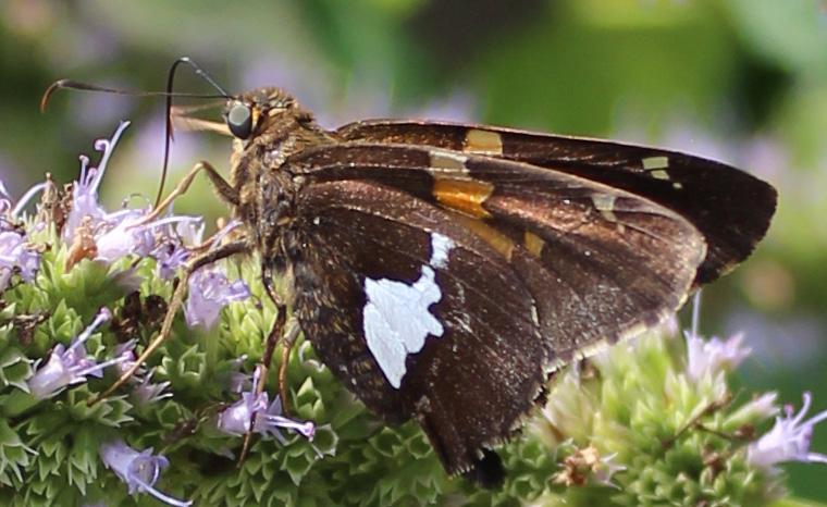 Butterfly 96