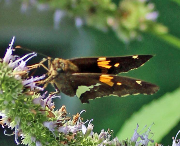Butterfly 97