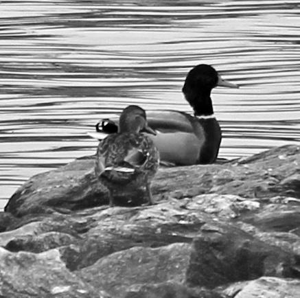 Ducks 5 bw