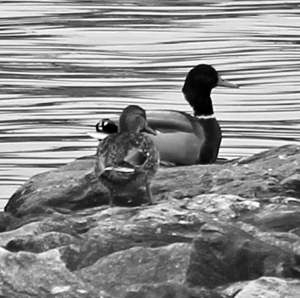 Ducks 5 bw