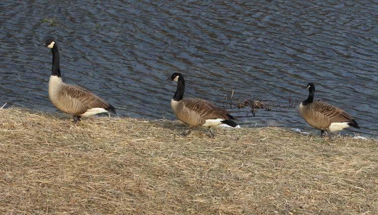 Geese 4 a