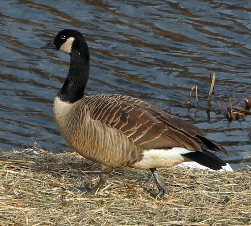 Geese 4 b