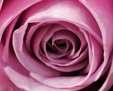 Lavender 1 rose macro
