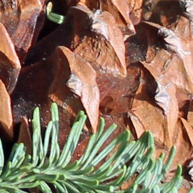 Pine cone 1 macro