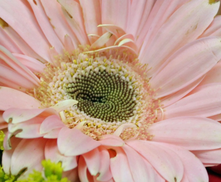 Pink 5 gubera