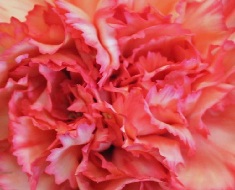 Pink 7 carnation