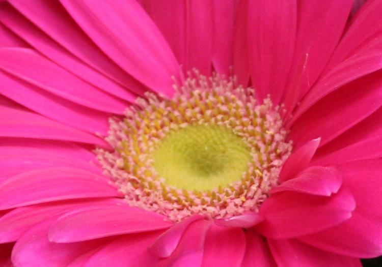 Pink 8 gubera