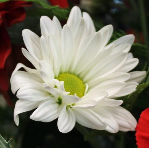 White 4 daisy.jpg
