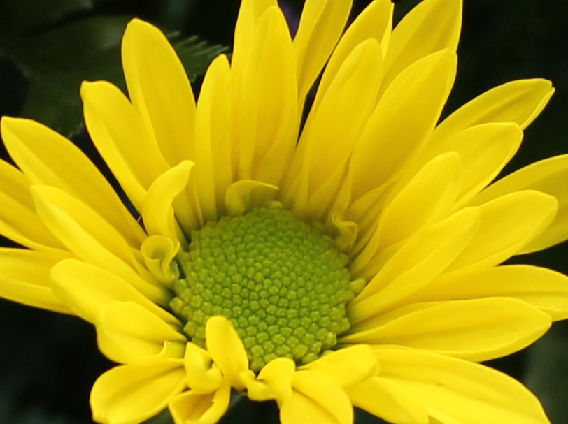 Yellow 7 daisy
