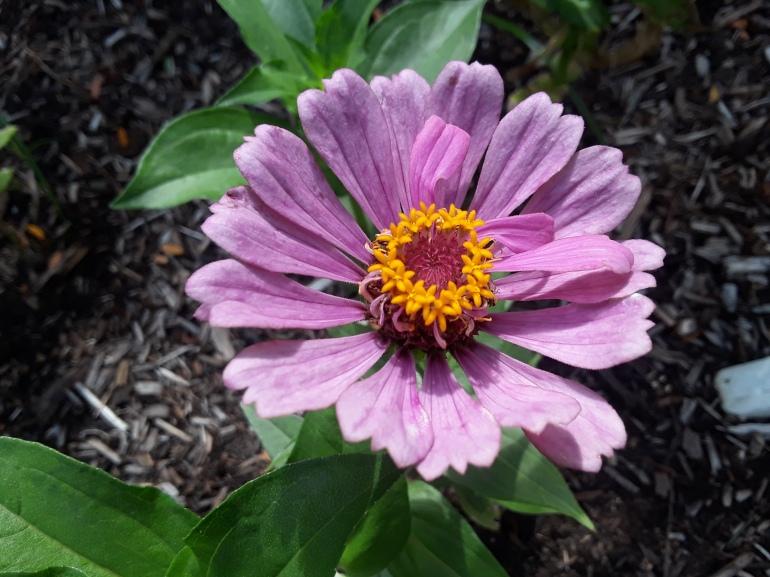 Zinnia purple
