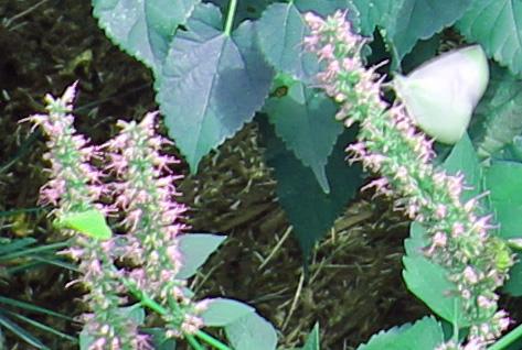 Butterflies 5 psych