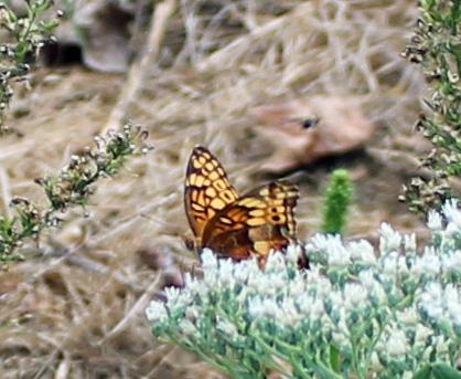 Butterfly 17