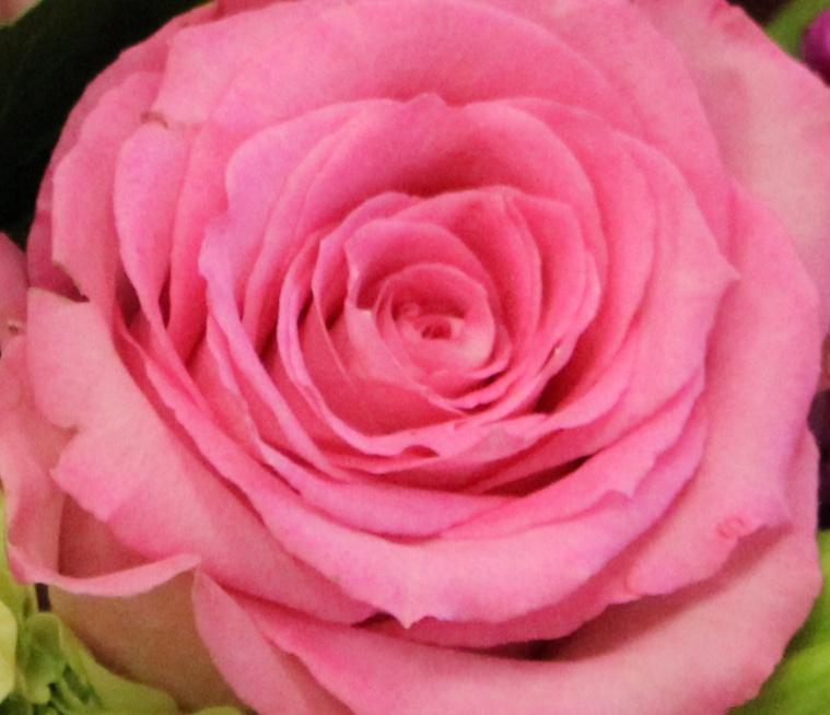 Pink 14 rose