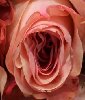 Pink 5 macro