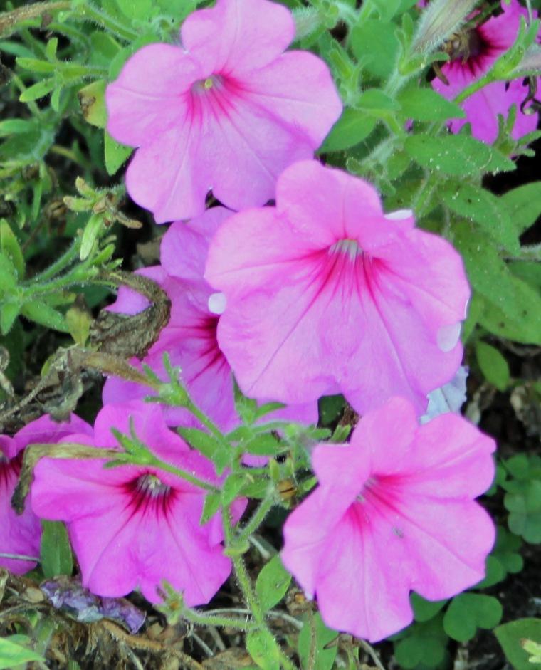 Pink 6 petunias