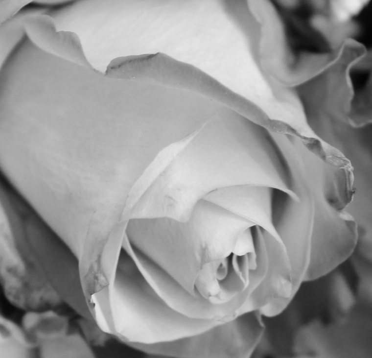 Red 7 roses zoom bw