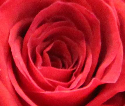 Red 8 rose crop