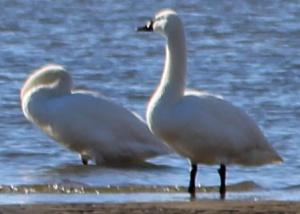 Swans 1 b