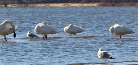 Swans 3