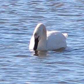 Swans 6