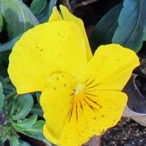 Yellow 8 b