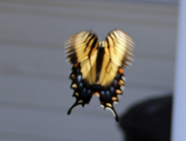 Butterfly in flight 2