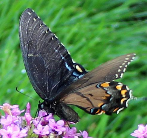 Butterlfly 1