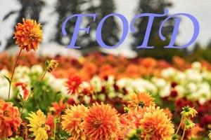 fotd-banner (1)