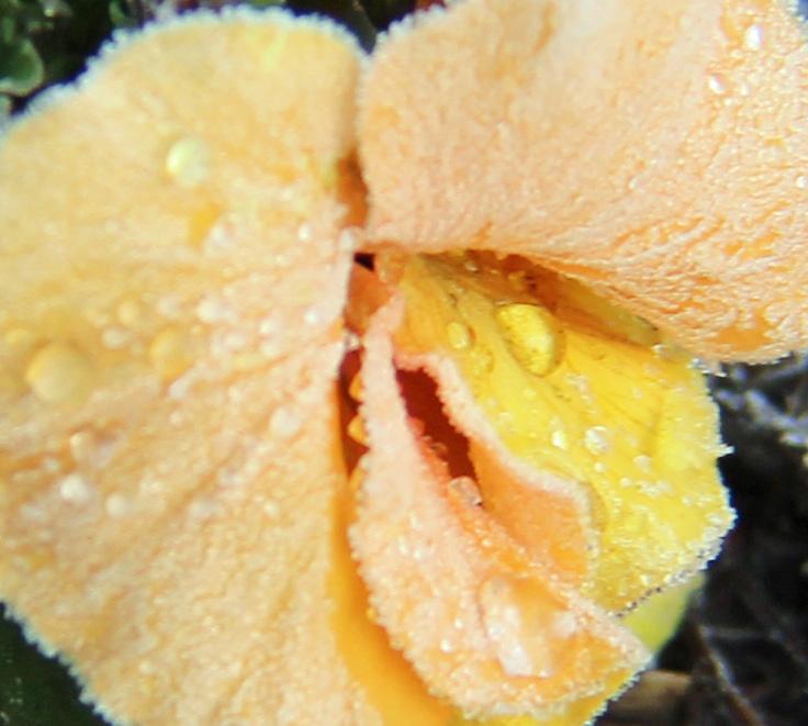 Frosty petunia 2 crop