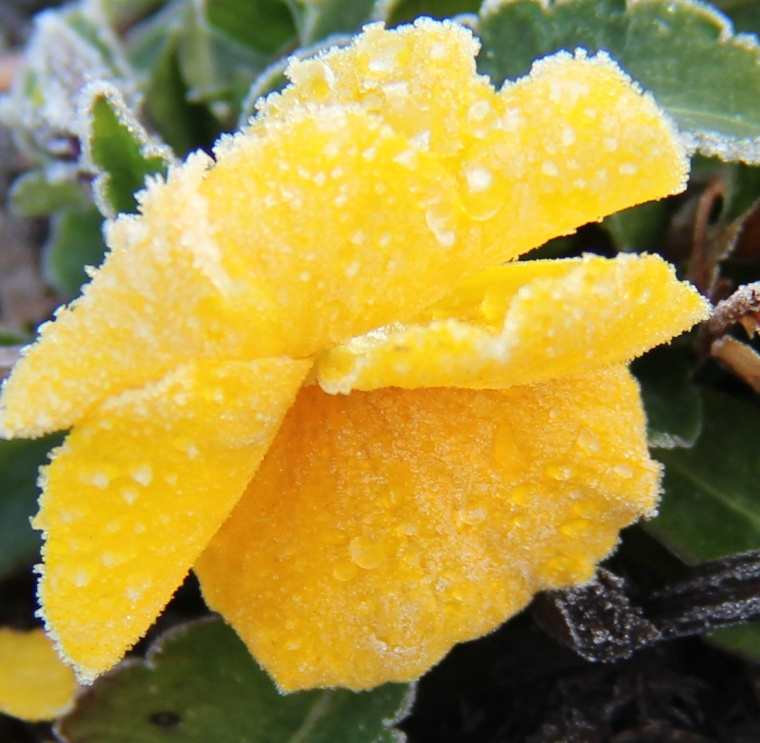 Frosty petunia