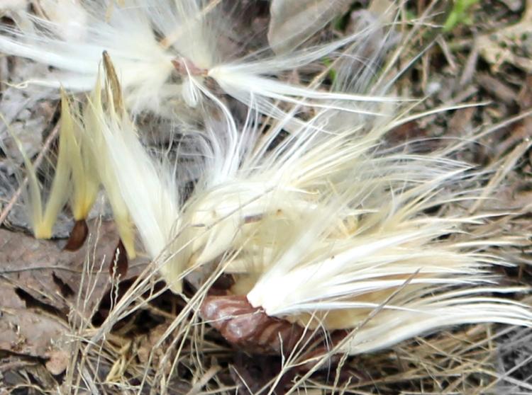 Milkweed seed best