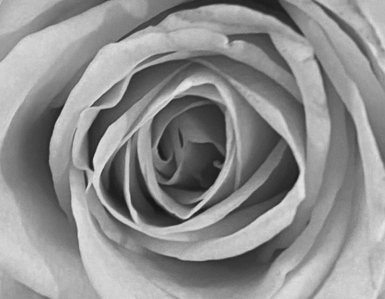 Orange 1 rose macro bw