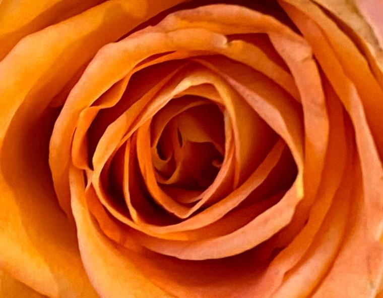 Orange 1 rose macro