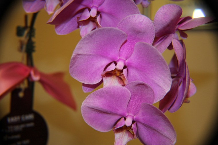 Orchid 7 a