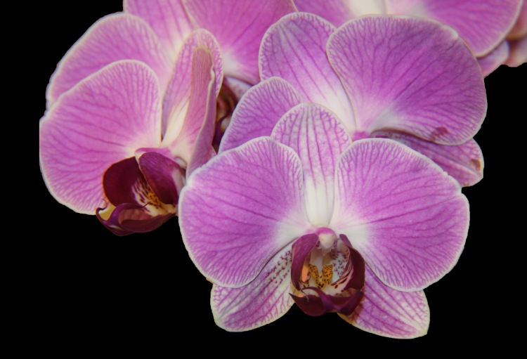 Orchid 8 a